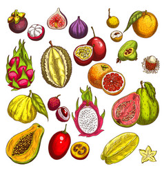 Sketch icons of tropical exotic fruits vector