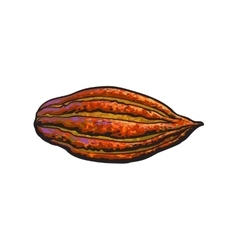 Hand drawn ripe cacao fruit isolated vector image vector image