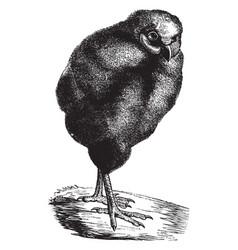 Young barn owl vintage vector