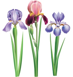 Flowers of iris vector
