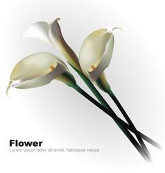White Calla Flowers vector image