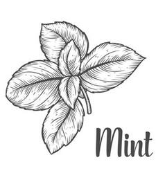 Mint herb vector
