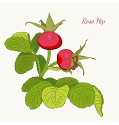 Rose hip wild red berries dog rose isolated vector