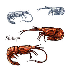 Shrimp prawn seafood isolated sketch icon vector