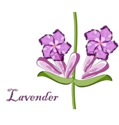 Bunch of lavender flowers violet blossom garden vector
