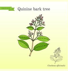 quinine bark tree cinchona officinalis medicinal vector image vector image