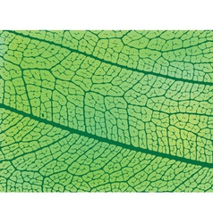 Structure of a leaf vector image vector image