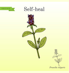 self-heal prunella vulgaris or allheal vector image vector image