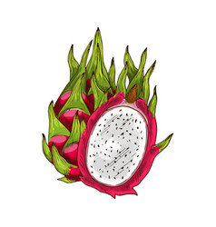 Dragon fruit isolated sketch with pink pitaya vector
