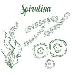 Spirulina Plant vector image