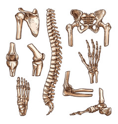 bone and joint of human skeleton sketch set vector image