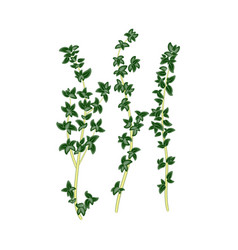 fresh green sprigs of thyme savory on white vector image vector image