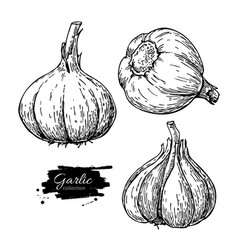 Garlic hand drawn set vector