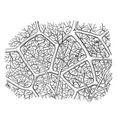 Capillaries of the air sac vintage vector