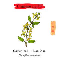 Medicinal herbs of china golden bell forsythia vector