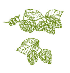Hops plant sketch for food and drinks design vector
