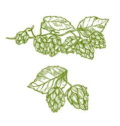 Hops plant sketch for food and drinks design vector
