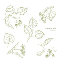 realistic natural drawings of linden leaves and vector image