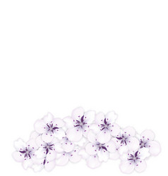 design bottom frame blossoming bouquet sakura vector image