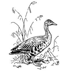 greylag goose vector image