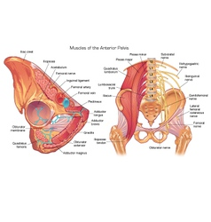 Muscles and nerves of the anterior pelvis vector