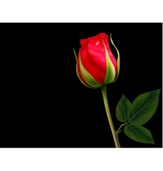 Red rose on a black background vector