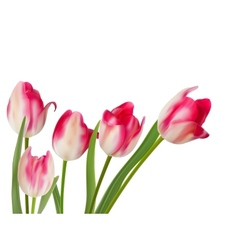 Five beautiful tulips isolated on white eps 10 vector