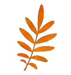Autumn watercolor rowan leaf vector