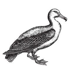 Albatrossesbiological family vector