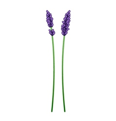 Beautiful purple lavender flowers vector