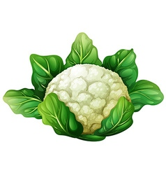 Cauliflower with green leaves vector image