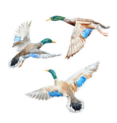 Set with watercolor ducks vector