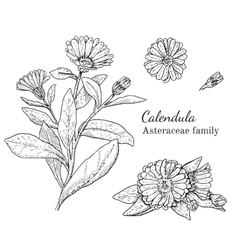 Ink calendula hand drawn sketch vector