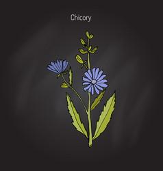 Chicory cichorium intybus vector