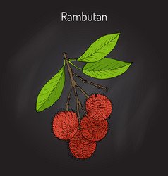 Rambutan nephelium lappaceum tropical fruit vector