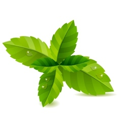 Fresh green mint leaves isolated vector
