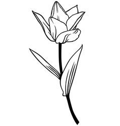 tulip lily contour vector image vector image