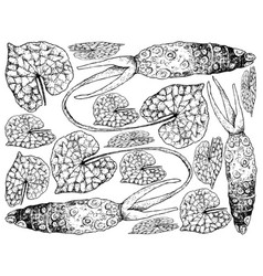 Hand drawn of wasabi root also known as japanese vector