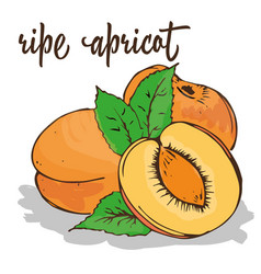 apricot is hand-painted vector image vector image