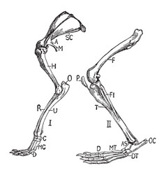 Rabbit limbs vintage vector
