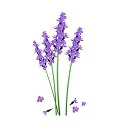 Purple lavender flowers on a white background vector