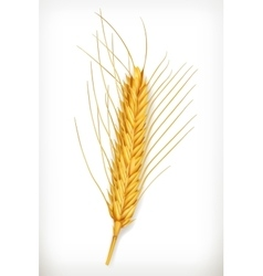 Ear of wheat icon vector