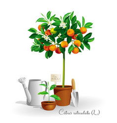 mandarin tree in the pot vector image
