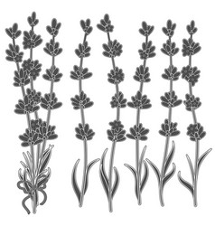 Set of black and white images of lavender sprigs vector