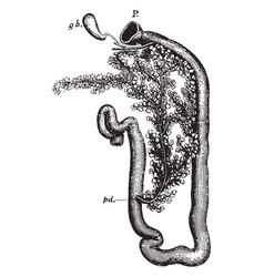 rabbit duodenum vintage vector image vector image