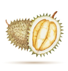 Durian hand drawn watercolor vector
