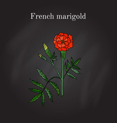 Tagetes or french marigold hand drawn vector