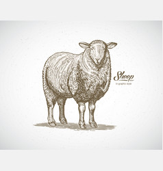 sheep in graphic style drawn by hand on paper and vector image