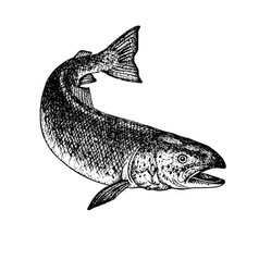 Hand drawn salmon sketch vector