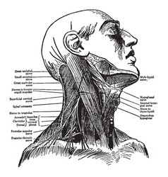 Nerves of the neck vintage vector